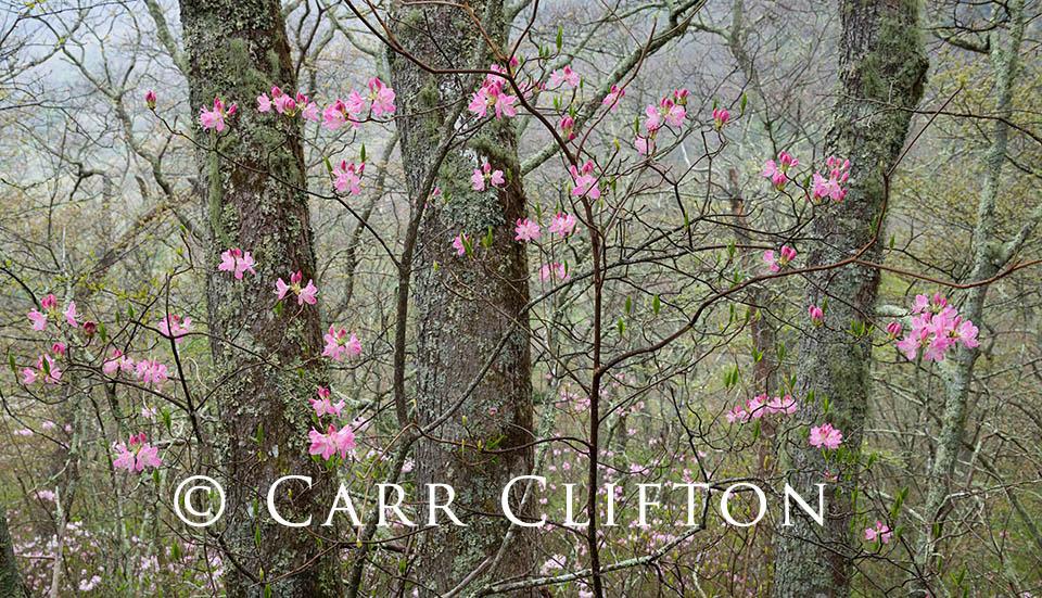114-1101-NC_carr_clifton