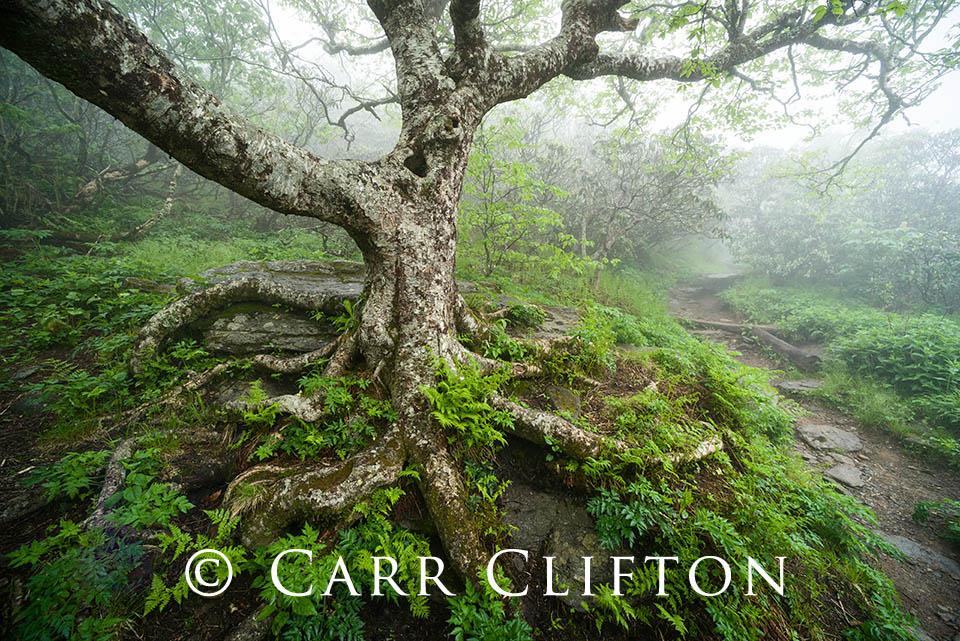 114-1339-NC_carr_clifton