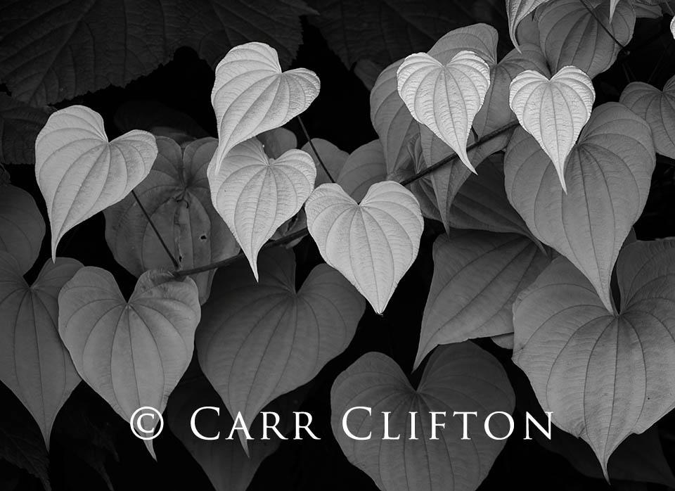 114-1372-NC_carr_clifton