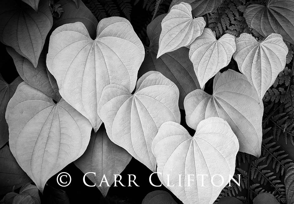 114-1375-NC_carr_clifton