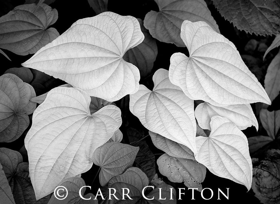 114-1363-NC_carr_clifton