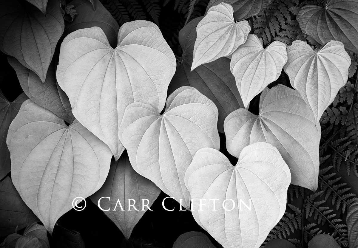 latest-114-1375-NC_carr_clifton